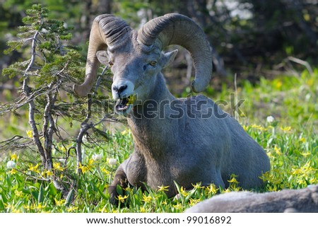 Big Horn Sheep ram chewing at Logan Pass in Glacier National Park in Montana