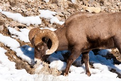 Big Horn Sheep ram grazing, surrounded by snow
