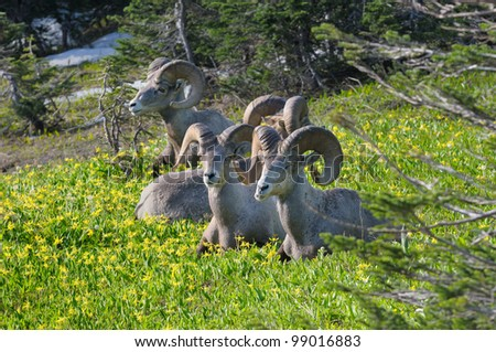 Big Horn Sheep rams relaxing in meadow at Logan Pass in Glacier National Park in Montana