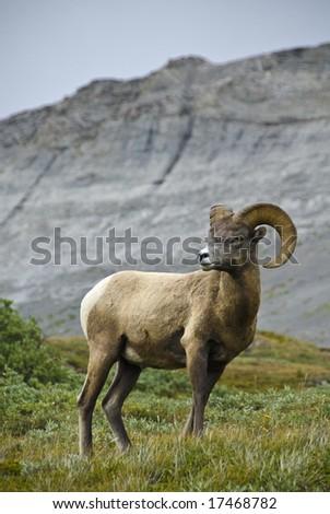 Big Horn sheep, Wilcox Pass, Jasper National Park, Alberta, Canada