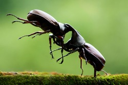 Big horned beetle