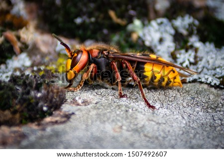 Photo of  big hornet is on the stone. Murder hornet is dangerous insect.