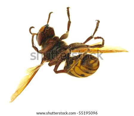 Big hornet on white background