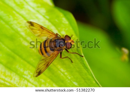 Big hover-fly,