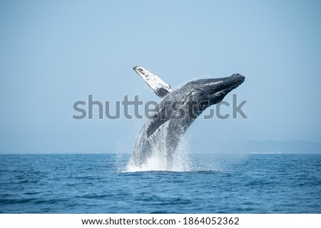 Big Humpback Whale Breaching Out of Water in ocean Foto d'archivio ©