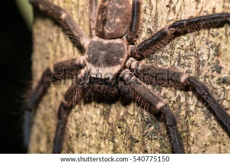 big huntsman spider on tree trunk. Huntsman spider is members of the family Sparassidae (formerly Heteropodidae. Masoala National park, Toamasina province, Madagascar wildlife and wilderness #540775150