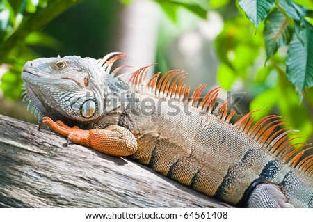 big iguana