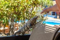 Big iguana, monitor lizard eating. Costa Rica.