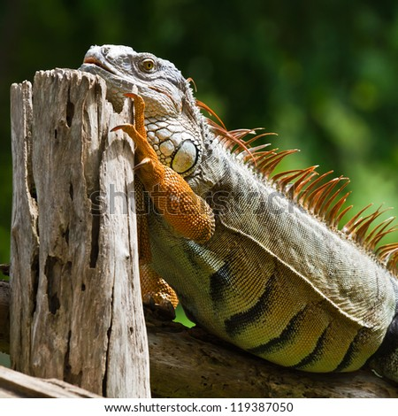 big iguana on wood
