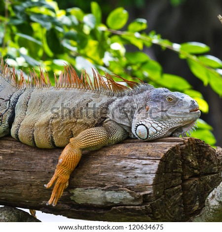 big iguana on wood