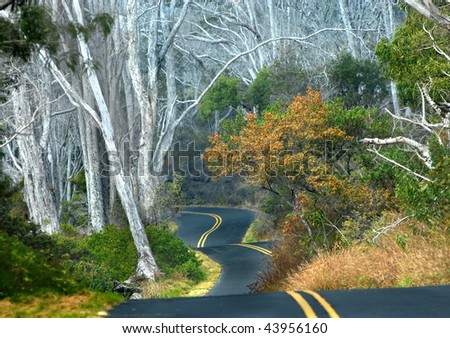 Big Island of Hawaii backroad curves and dips at it winds around tall white tree trunks