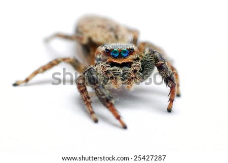 big jumping spider on a white background
