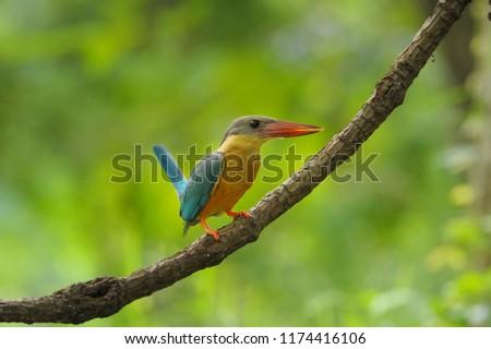 Big kingfisher