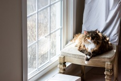Big Large Maine coon calico cat resting, crossing paws on chair indoors inside house comfortable, breed neck mane or ruff by window