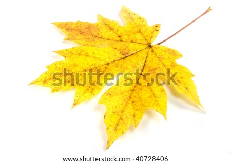 Big leaf maple in fall color isolated on white background with soft drop shadow