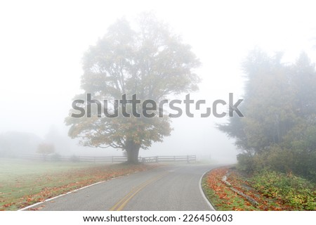 Big Leaf Maple Tree in the Fog. A beautiful, large maple tree on a foggy morning changing color in the fall season.