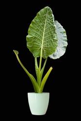 Big leaf ornamental plants, ornamental plants planted in pots through dicut black backdrop for designs and decorations png ps ans ai