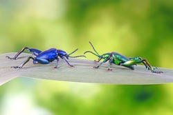 Big-legged or Frog-legged leaf beetle. Metallic blue and green color beetles on leaf in tropical rainforest of Thailand. Selective focus with blurred nature background.