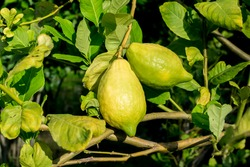 Big lemon on the lemon tree. To grow lemon without chemicals.