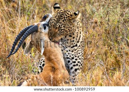 big leopard catches its prey