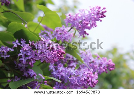 Photo of  Big lilac branch bloom. Bright blooms of spring lilacs bush. Spring blue lilac flowers close-up on blurred background. Bouquet of purple flowers