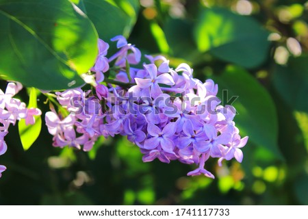 Big lilac branch bloom in garden. Bright blooms of spring lilacs bush. Spring blue lilac flowers close-upin the sun. Bouquet of purple flowers