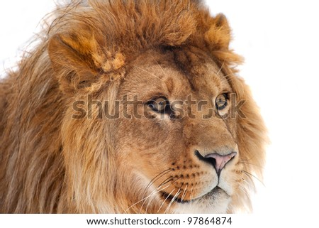 Big lion close up portrait