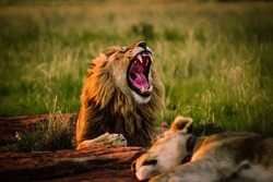 Big lion laying on the ground in safari yawning with his mouth wide open