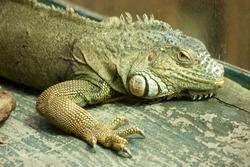 Big Lizard iguana on the wood. Tropical reptile in the zoo. Beautiful exotic animal.