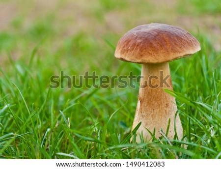 Big magnificent edible mushroom (boletus edulis bull, borowik szlachetny, prawy, prawdziwek) growing in polish forest. Zdjęcia stock ©