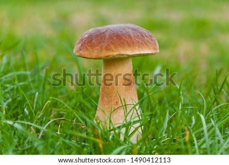 Big magnificent edible mushroom (boletus edulis bull, borowik szlachetny, prawy, prawdziwek) found at mushroom picking in polish forest. Zdjęcia stock ©