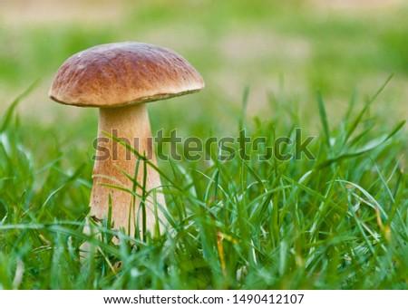 Big magnificent edible mushroom (boletus edulis bull, borowik szlachetny, prawy, prawdziwek) grow in dense grass. Mushrooming in Poland. Zdjęcia stock ©
