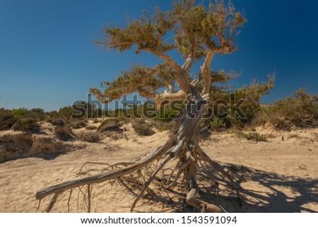 Big, majestic cedar in cedar grove, with roots above the ground, Chrissi Island, Crete, Greece
