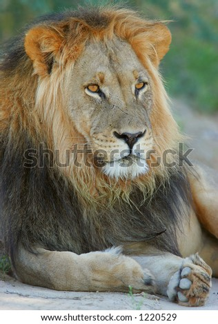 Big male African lion  (Panthera leo) in relaxed position, Kalahari, South Africa