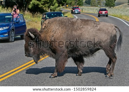 Big male bison crossing a road in Yellowstone National Park.