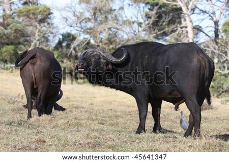 Big male buffalo scenting or showing flehmen response to mate with cow