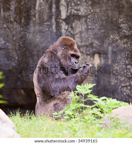 big male gorilla. Atlanta zoo, Georgia, USA