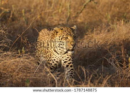 Big Male leopard in the Ruaha National park
