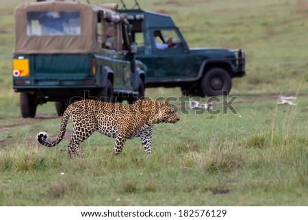 Big male Leopard with safari cars in the background in Masai Mara, Kenya