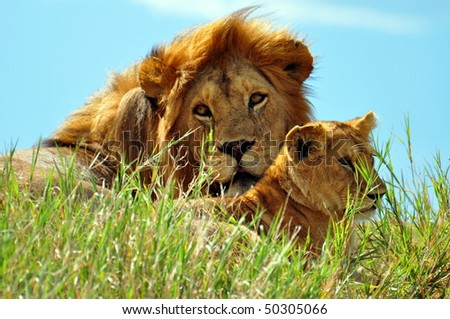 ... lion and cub soaking up the sun in Serengeti National Park, Tanzania