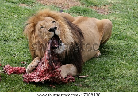 Big male lion eating an animal carcass
