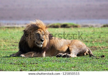 Big male lion on savanna. Safari in Serengeti, Tanzania, Africa #125850515