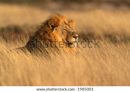 Big male lion (Panthera leo) lying in the grass, Etosha National Park, Namibia