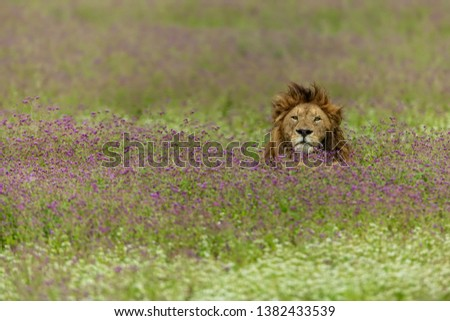 big male lion relaxing in the field of purple flowers in Ngorongoro crater #1382433539
