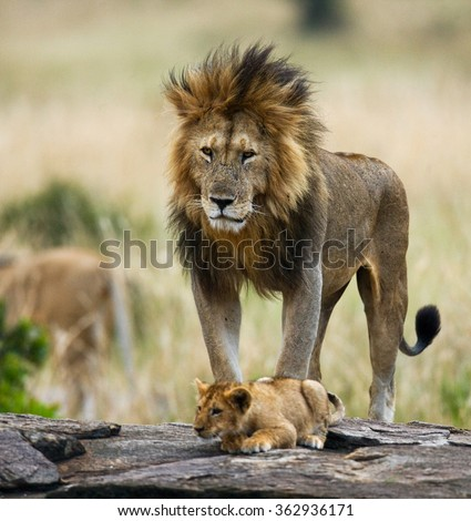 Big male lion with cub. National Park. Kenya. Tanzania. Masai Mara. Serengeti. An excellent illustration.
