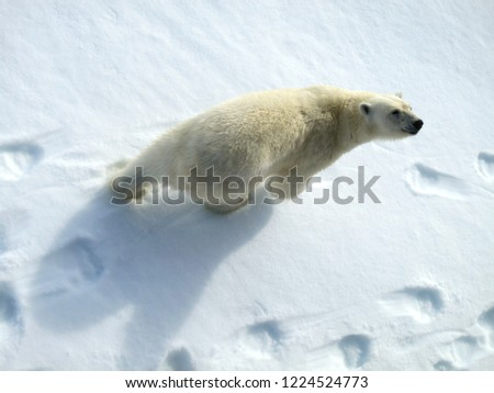 Big male Polar Bear (Ursus maritimus) walking below the expedition cruise ship on arctic ice flow north of Spitsbergen