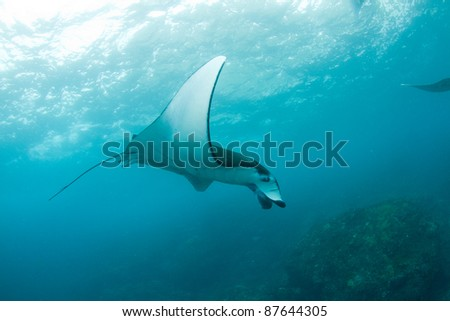 big manta ray swimming in the ocean