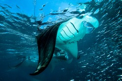 Big Mantas in front of the camera.high visibility in the waters of Indian ocean.