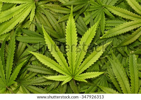 Big Marijuana Leaf Close Up with Texture Background of Cannabis Leaves in a Pile