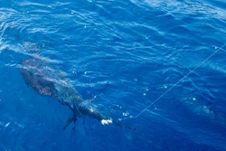 Big marlin sailfish on deck of professional fishing boat in Andaman Sea of Indian Ocean. Trophy fishing trolling catch between Phuket and Racha islands, Thailand. Blue sea and deck of yacht, huge fish